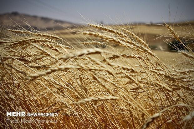 فراوری گندم گلستان در سال 98 به بیش از یک میلیون تن خواهد رسید