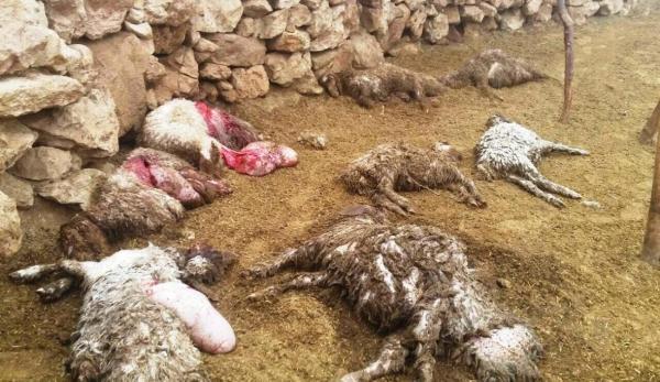 خبرنگاران گرگ در ایذه 12 راس گوسفند را درید
